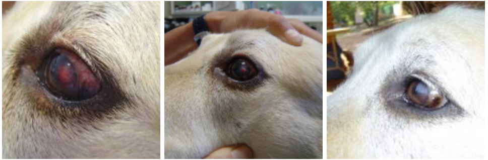 Untreated Corneal Ulcer